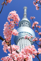 東京都 東京スカイツリーと河津桜
