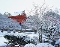 京都府 雪の仁和寺 紅梅