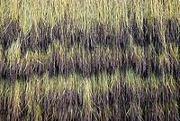 島根県 稲架干しの赤米