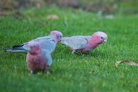オーストラリア パース キングスパークの鳥