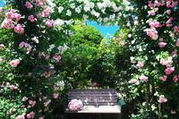 神奈川県 横浜市 港の見える丘公園のバラ
