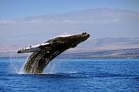 ハワイ ザトウクジラ