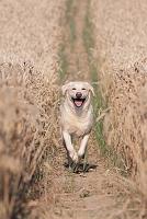 ラブラドールレトリバー 犬