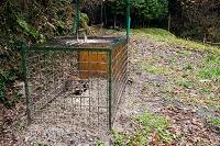 島根県 猪の罠にかかった狸