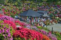 東京都 ツツジ咲く塩船観音寺