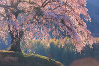群馬県 朝日に輝く上発知のしだれ桜と地蔵