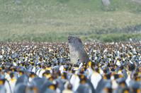 ミナミゾウアザラシとペンギンの群れ