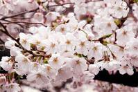 東京で桜満開 平年より7日早く