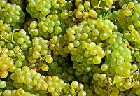 ワイン用葡萄