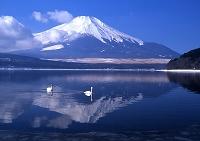 山中湖湖畔から見た白鳥と富士山