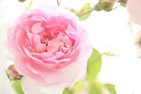 可憐なバラの花