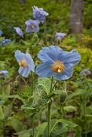 栃木県 上三依水生植物園 ヒマラヤの青いケシ