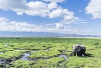 ケニア アフリカゾウ