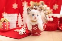 ラグドール(シールポイントバイカラー)の子猫