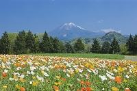 とっとり花回廊のアイスランドポピーと大山 鳥取県 南部町