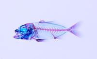 カンパチ 透明骨格標本