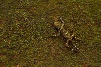 擬態する動物 Collared Tree Runner