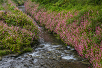 栃木県 出流ふれあいの森 シュウカイドウの群生