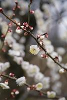 東京都 府中市郷土の森 梅花