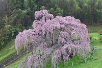 福島県 雨の三春の滝桜