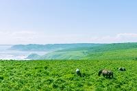 北海道 馬が草を食む海岸線の牧草地帯