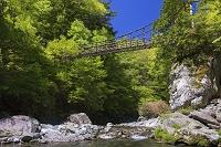 徳島県 新緑の祖谷川に架かる奥祖谷二重かずら橋 男橋