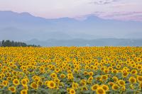 山梨県 朝の明野ひまわり畑