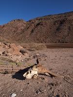 メキシコ エスピリトゥ・サント島 ヤギの頭蓋骨