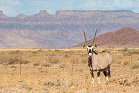 ナミビア オリックス