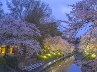 富山県 松川公園の桜・夕景