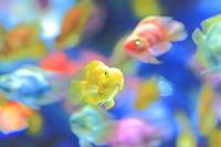 カラフルな金魚たち