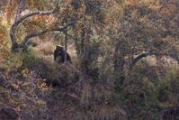 アメリカ合衆国 ハイイログマ