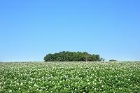 北海道 丘のイモ畑
