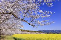 宮崎県 菜の花と桜咲く西都原公園