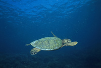 マレーシア シパダン島 産卵のため夜を待ち沖を泳ぐタイマイの...