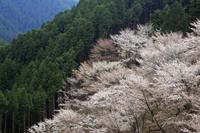 吉野山 奥千本の山桜と吉野杉