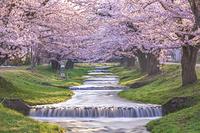 日本 福島県 観音寺川の桜