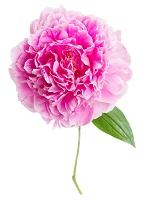 ピンク色の牡丹
