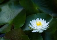 緑葉を背にした一輪の睡蓮