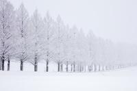 滋賀県 雪のメタセコイア並木