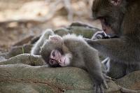 母親からグルーミングしてもらっている日本猿の子供