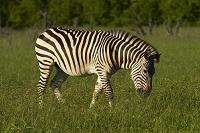 ジンバブエ ワンゲ国立公園 シマウマ