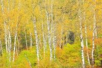 長野県 白樺林の黄葉
