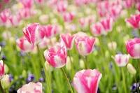 群馬県 チューリップの花畑