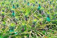 沖縄県 パイナップル畑
