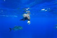 魚をくわえたミナミハンドウイルカとロウニンアジ