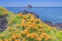 新潟県 外海府海岸の岩ユリ