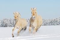 雪の中を走る白い馬