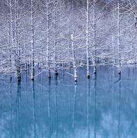 青い池の初雪とカラマツ林