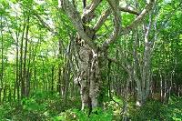 青森県 青森市 ブナの巨木